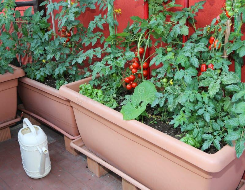 Potes con plantas de tomate y una regadera amarilla foto de archivo