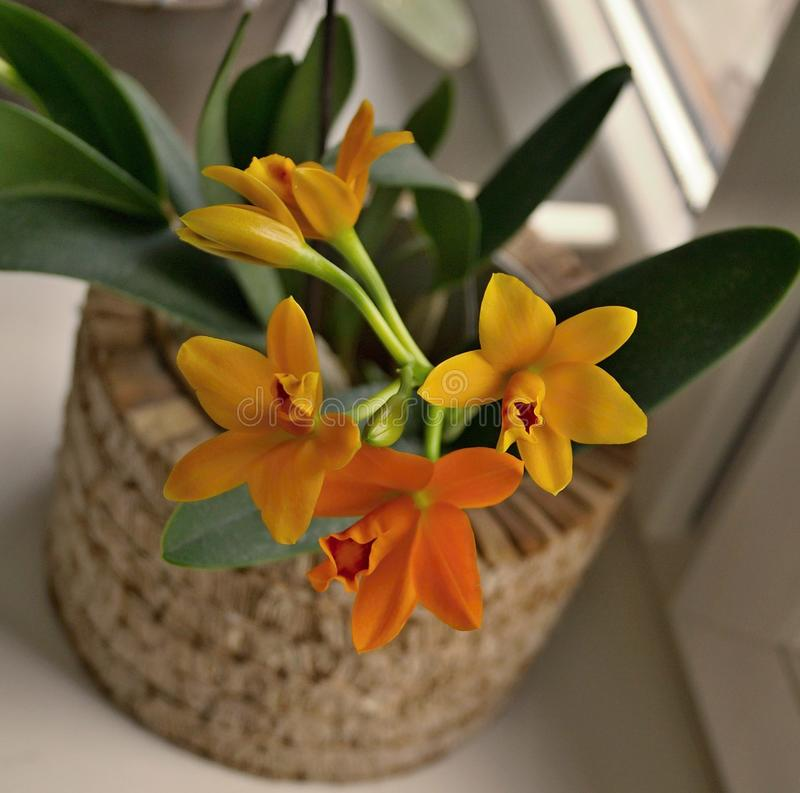 Potinara Shinfong słońca Mała orchidea zdjęcie royalty free