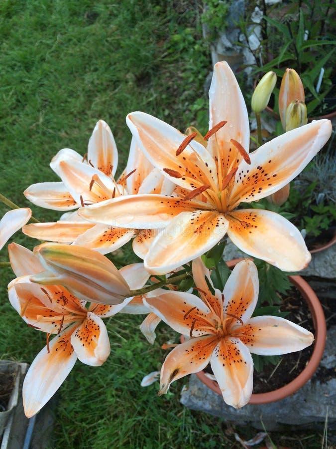Potinara Shinfong Weinig Zonorchidee stock foto