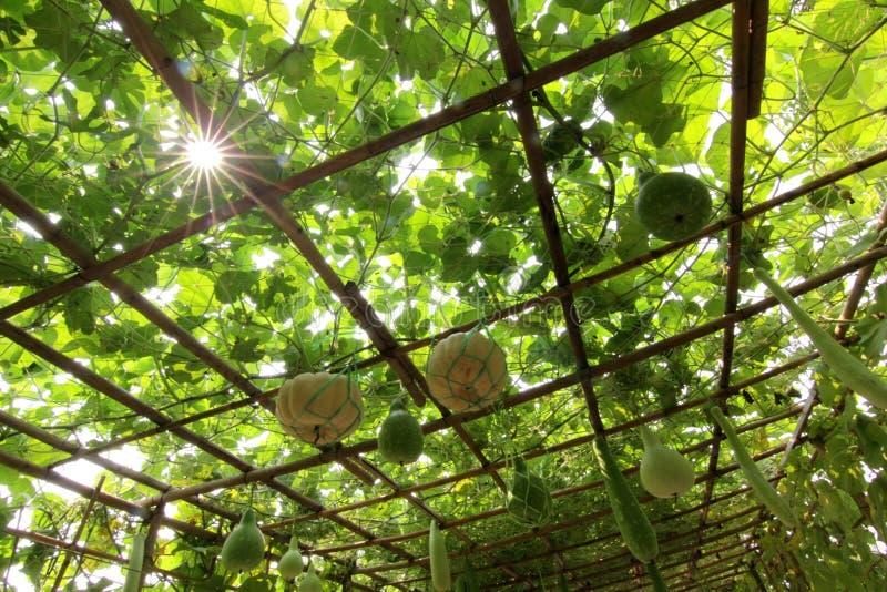 Potiron et melon d'hiver sur l'arbre photos libres de droits