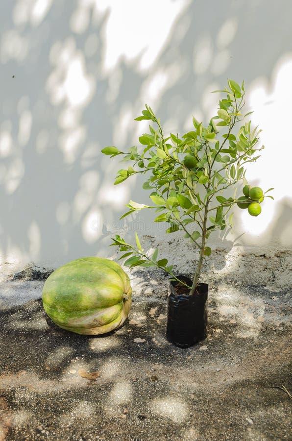 Potiron et plante de Key Lime image stock