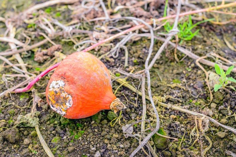 Potiron orange de décomposition laissé sur le champ photo libre de droits