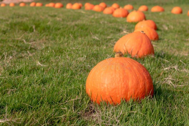 Potiron orange frais avec la baisse de rosée sur l'herbe verte photographie stock