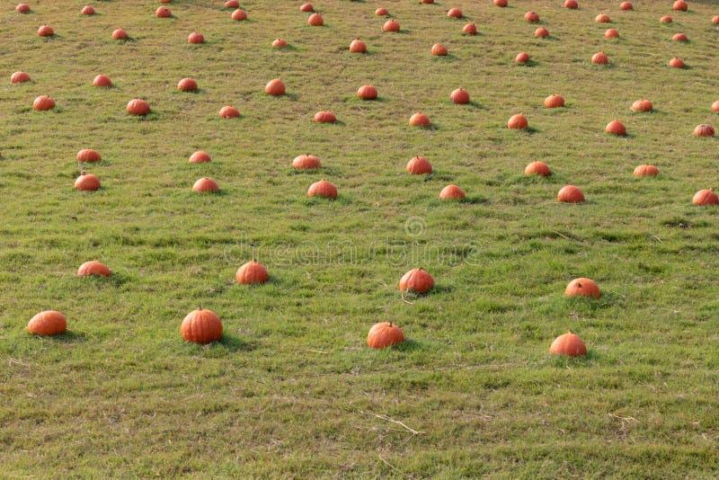 Potiron orange frais avec la baisse de rosée sur l'herbe verte photo stock