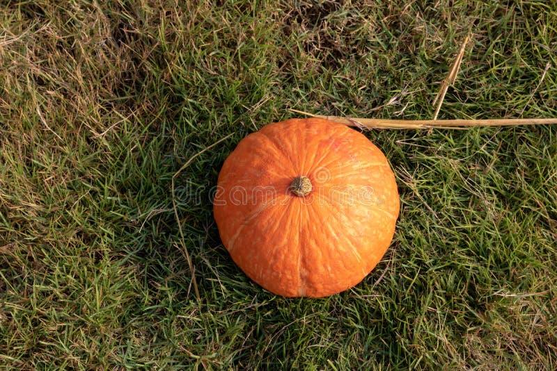 Potiron orange frais avec la baisse de rosée sur l'herbe verte photos libres de droits