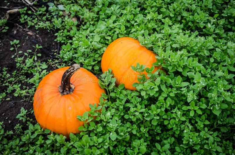 Potirons dans la correction de potiron pour le décor d'Autumn Season images stock