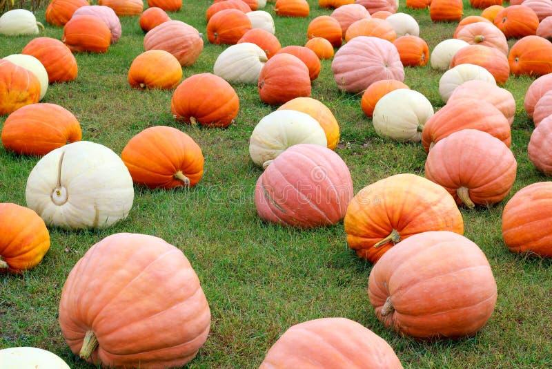 Potirons mûrs dans un domaine Préparez à Halloween images libres de droits