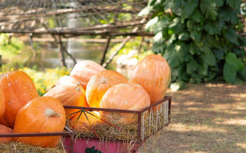 Potirons moissonnés frais d'automne sur le chariot dans la ferme image libre de droits