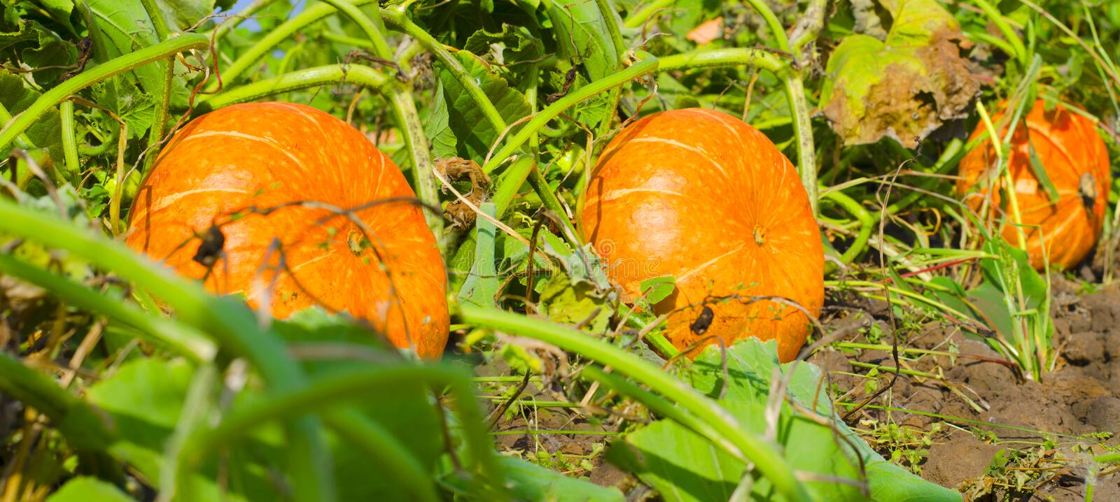 Potirons oranges au march? ext?rieur d'agriculteur Correction de potiron photographie stock libre de droits