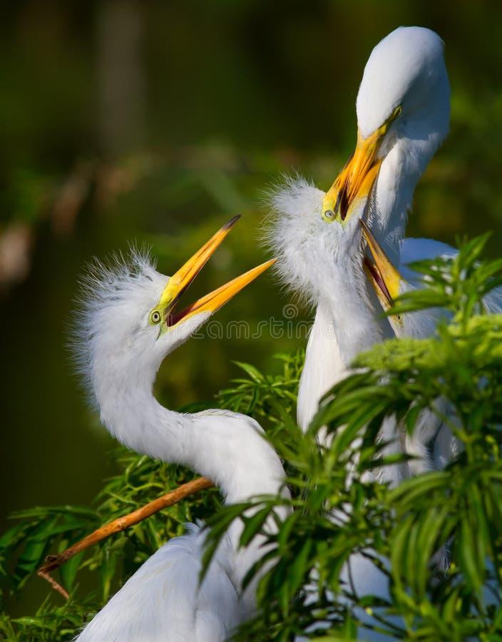 Potomstwa dwa tygodnia starego egrets żądają jedzenie od ich matki obrazy stock