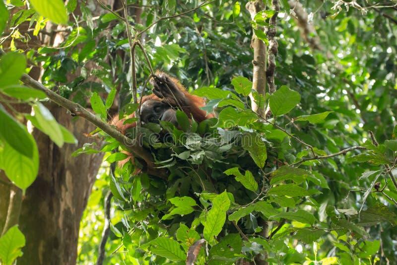 Potomstwa krytycznie zagrażali Sumatran orangutan Pongo abelii w gniazdeczku w Gunung Leuser parku narodowym, Sumatra, Indonezja zdjęcie stock
