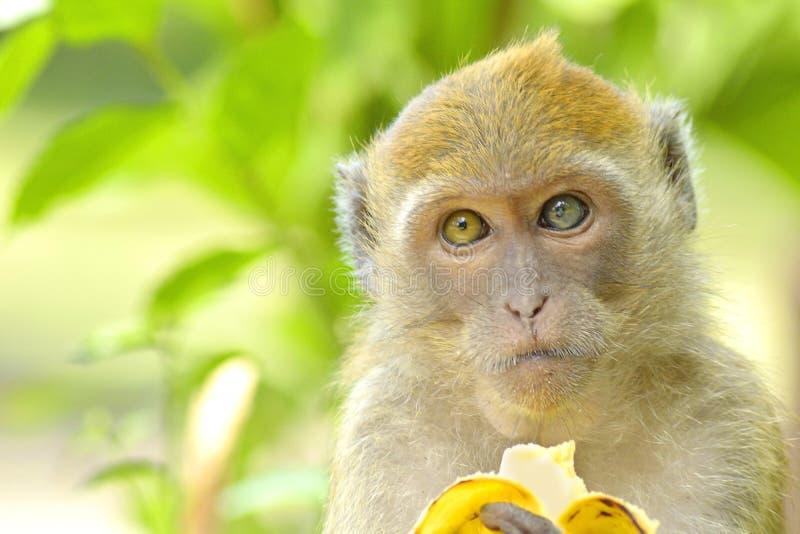Potomstwa małpują łasowanie banana obrazy stock