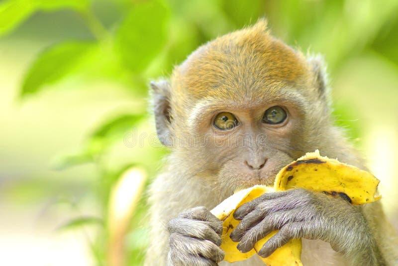 Potomstwa małpują łasowanie banana fotografia stock