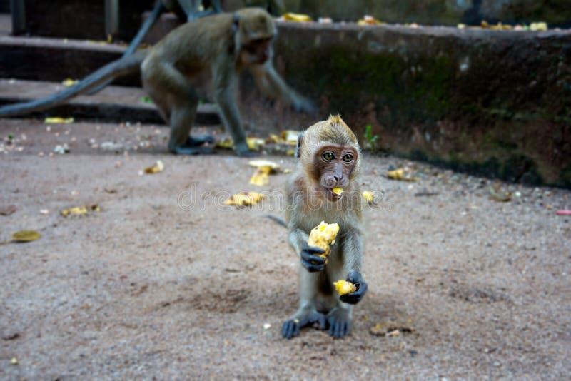 Potomstwa małpują obsiadanie na łasowanie bananie i ziemi obrazy royalty free