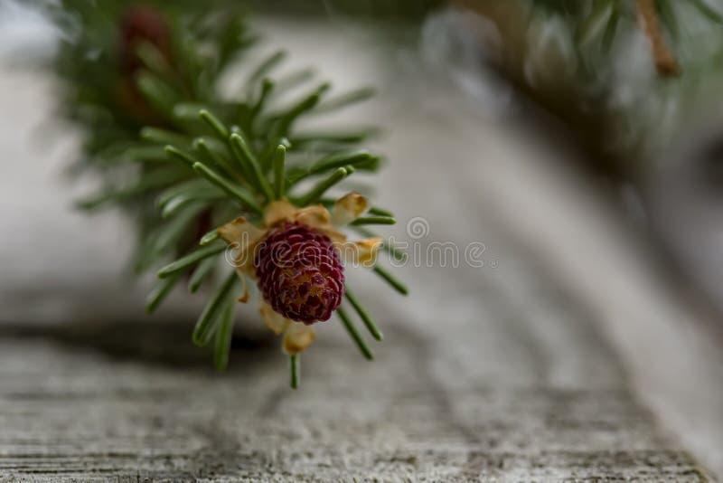 Potomstwa, mali garbki na świerkowym Picea abies blisko starego drewnianego ogrodzenia, przeciw zamazanemu tłu gałąź i niebo, na  obrazy stock