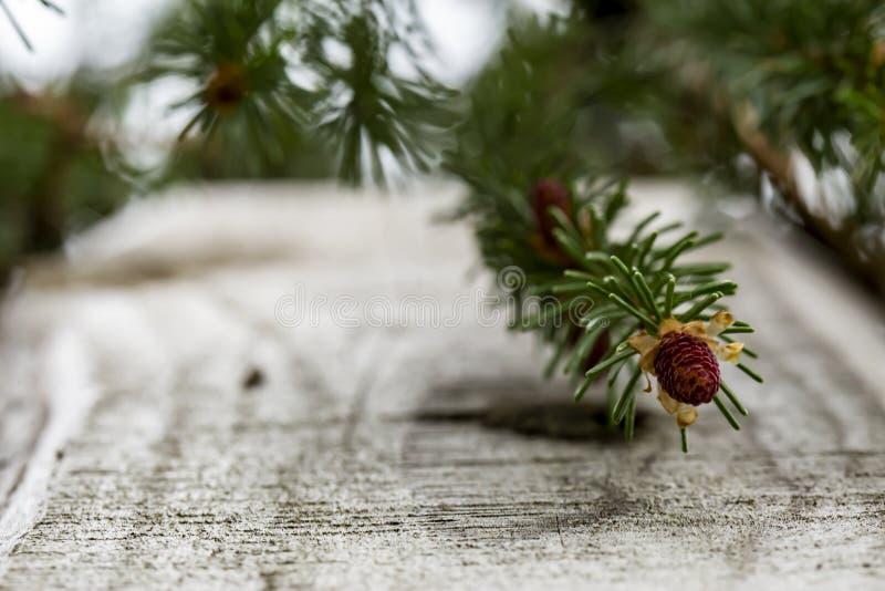 Potomstwa, mali garbki na świerkowym Picea abies blisko starego drewnianego ogrodzenia, przeciw zamazanemu tłu gałąź i niebo, na  zdjęcie royalty free
