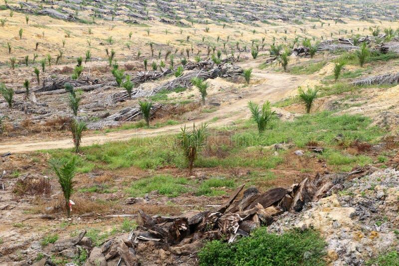 Potomstwa oliwią drzewka palmowe zasadzających na rozjaśniającej ziemi - serie 2 obrazy royalty free