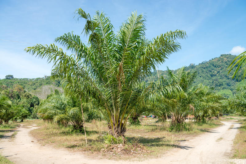 Potomstwa oliwią drzewko palmowe plantację zdjęcia stock