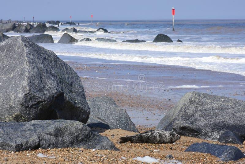 Potomstwa Pieczętują odpoczywać na plaży, Norfolk, UK fotografia stock