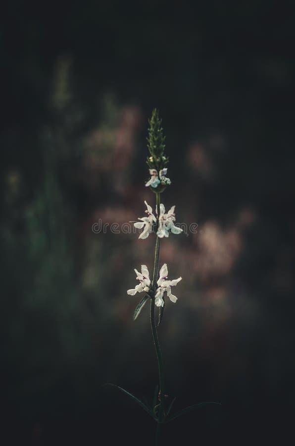 Potomstwa rozgałęziają się herbaty Chamaenerion z pierwszy białymi kwiatami Pierwszy ranku słońca promienie słońce w lasowej hali zdjęcia stock