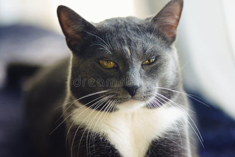 Potomstwa siwieją kundlowatego kota z żółty oczu kłamać obraz royalty free