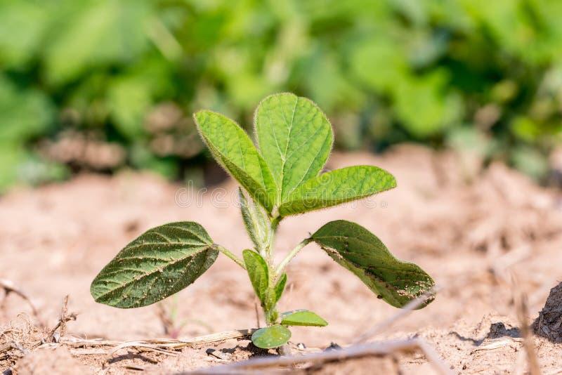 Potomstwa zielenieją genetycznie zmodyfikowanej soi w polu GMO soi lub, glicyna max obraz stock