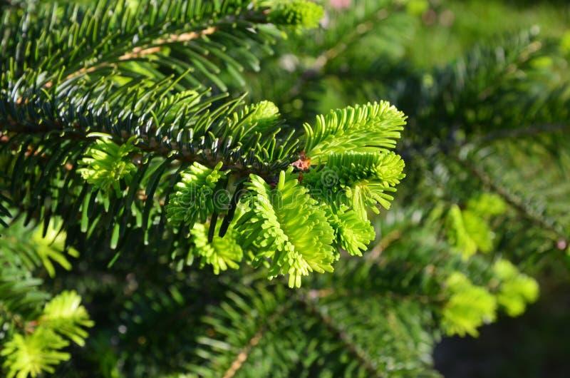 Potomstwa zielenieją jodły gałęziasty makro- obrazy stock