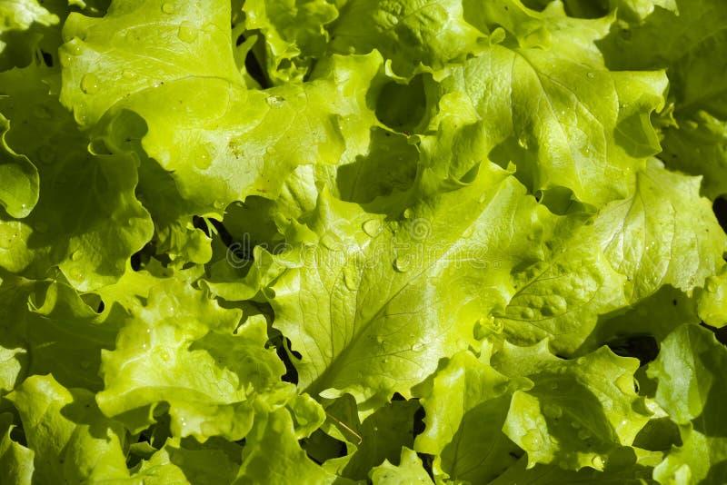 Potomstwa zielenieją liść sałata. fotografia royalty free