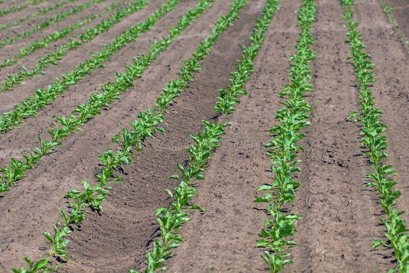 Potomstwa zielenieją sugarbeet obraz stock