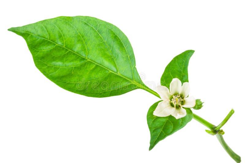 Potomstwo gałąź pieprz z zielonym liściem fotografia royalty free