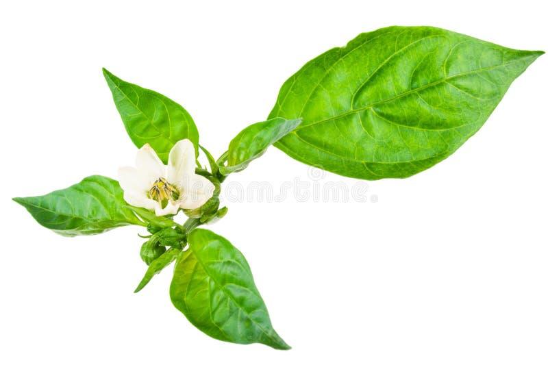 Potomstwo gałąź pieprz z zielonym liściem obraz stock