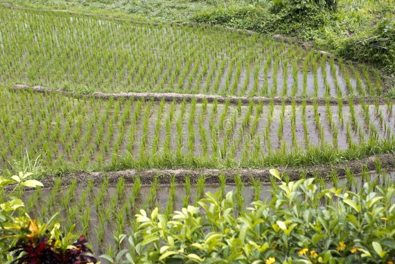 Potomstwo krótkopędy, ryżowych flanc zamknięty up fotografia royalty free
