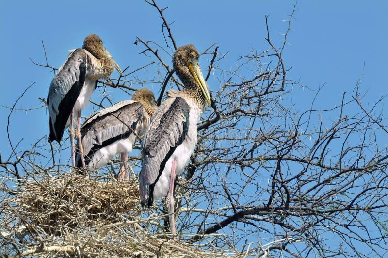 Potomstwo Malujący bocian na gniazdeczkach fotografia stock