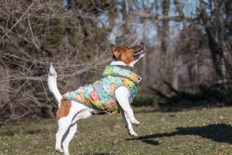 Potomstwo psa traken Jack Russell na spacerze na pogodnym popołudniu baraszkuje z dziewczyną na piaskowatej plaży trawie i fotografia royalty free
