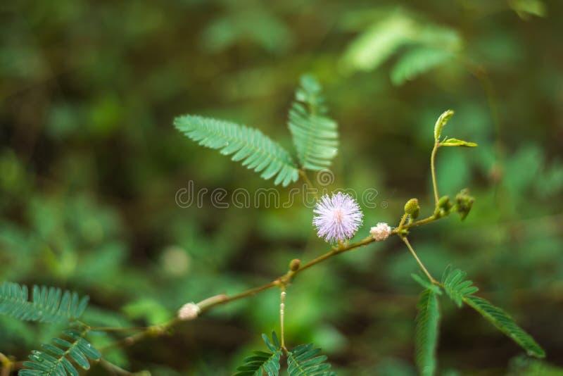 Potomstwo zieleń opuszcza i lili kwiaty mimozy pudica w roślinie i pikantności uprawiają ogródek w Sri Lanka zdjęcie stock