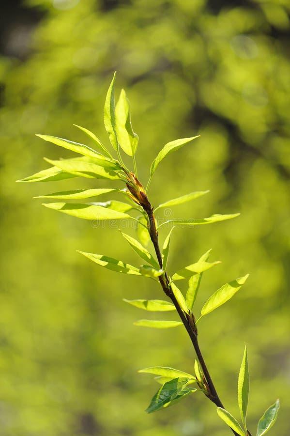 Download Potomstwo Zieleń Opuszcza Na Gałąź Z Rozmytym Zielonym Tłem Zdjęcie Stock - Obraz złożonej z drzewo, nowy: 53783366