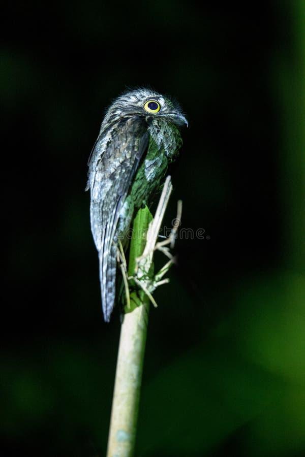 Potoo commun, griseus de Nyctibius, sur l'arbre en bambou, le Trinidad, forêt tropicale, oiseau avec de grands yeux jaunes image stock