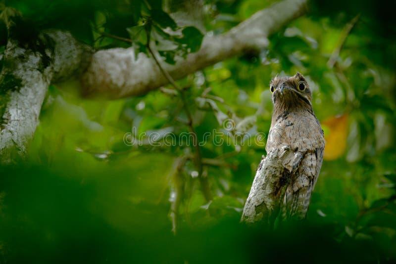 Potoo comune, griseus di Nyctibius, su una pertica, presa ad Asa Wright Nature Centre, Trinidad, le Antille fotografia stock libera da diritti