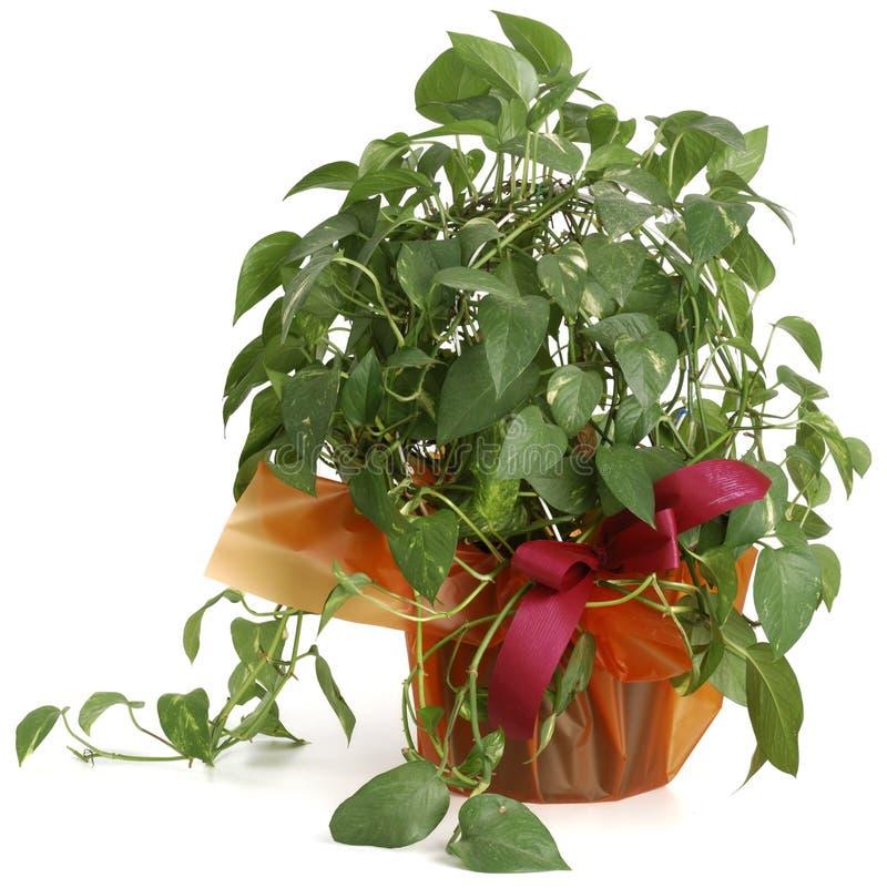 Potos de plante ornementale image stock image du for Plante ornementale