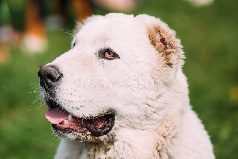 Potrait Środkowy Azjatycki Pasterski pies Alabai - Antyczny traken fotografia stock