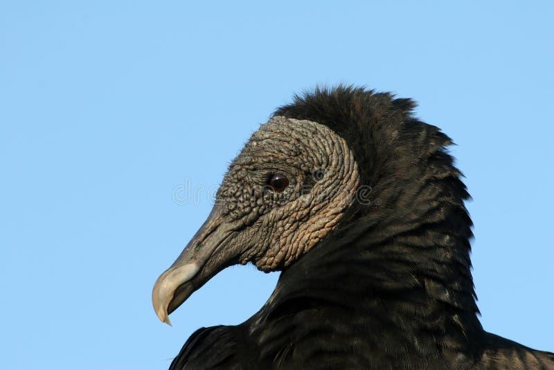 Potrait του μαύρου γύπα, εθνικό πάρκο Everglades στοκ φωτογραφίες