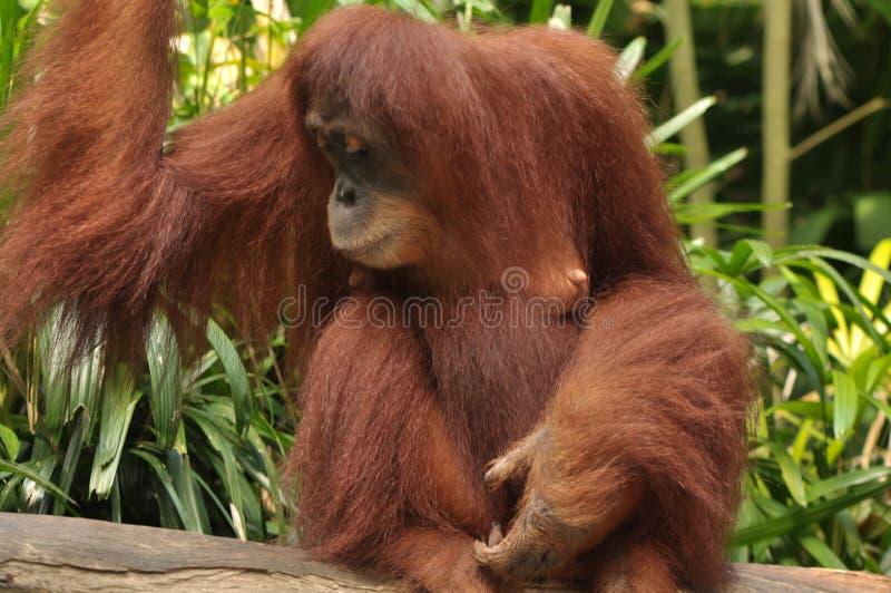 Potrait του ουρακοτάγκου Utan μητέρων στο ζωολογικό κήπο της Σιγκαπούρης στοκ εικόνες με δικαίωμα ελεύθερης χρήσης