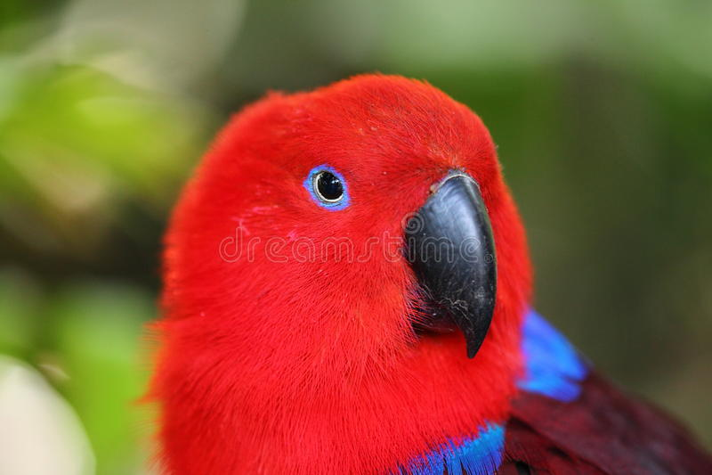 Potrait попугая Eclectus стоковые изображения