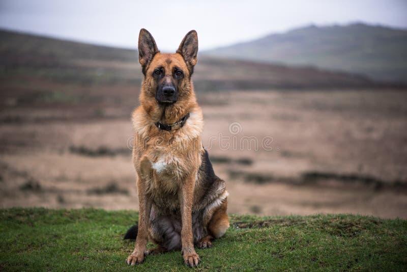Potrait de chien de berger allemand photos stock