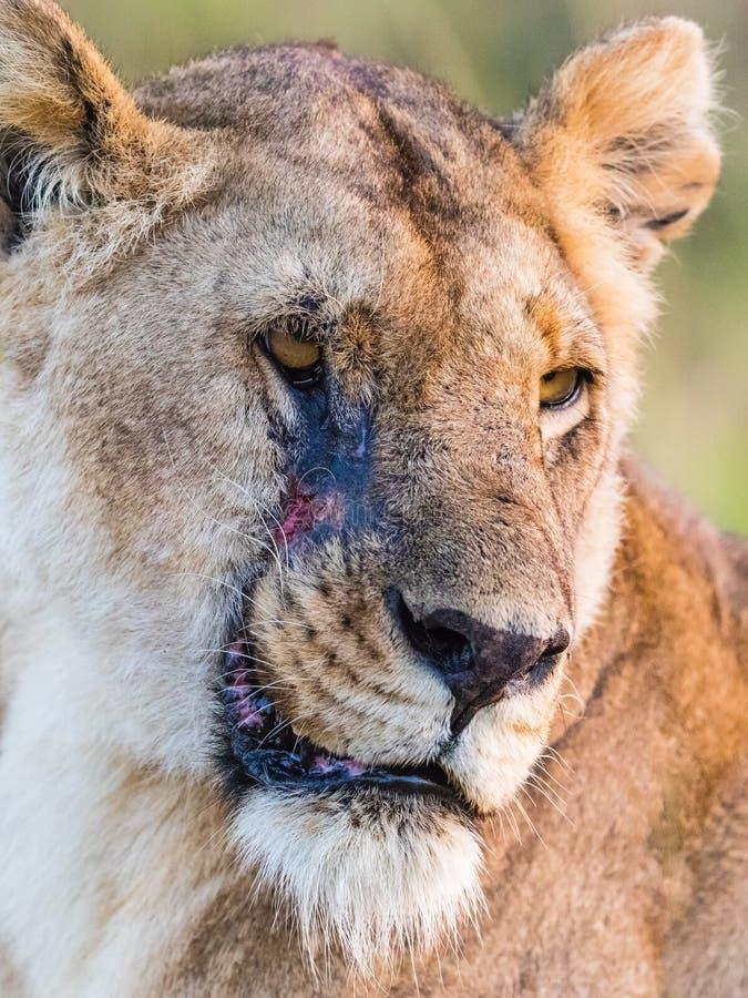 Potrait de lionne avec la cicatrice photo libre de droits
