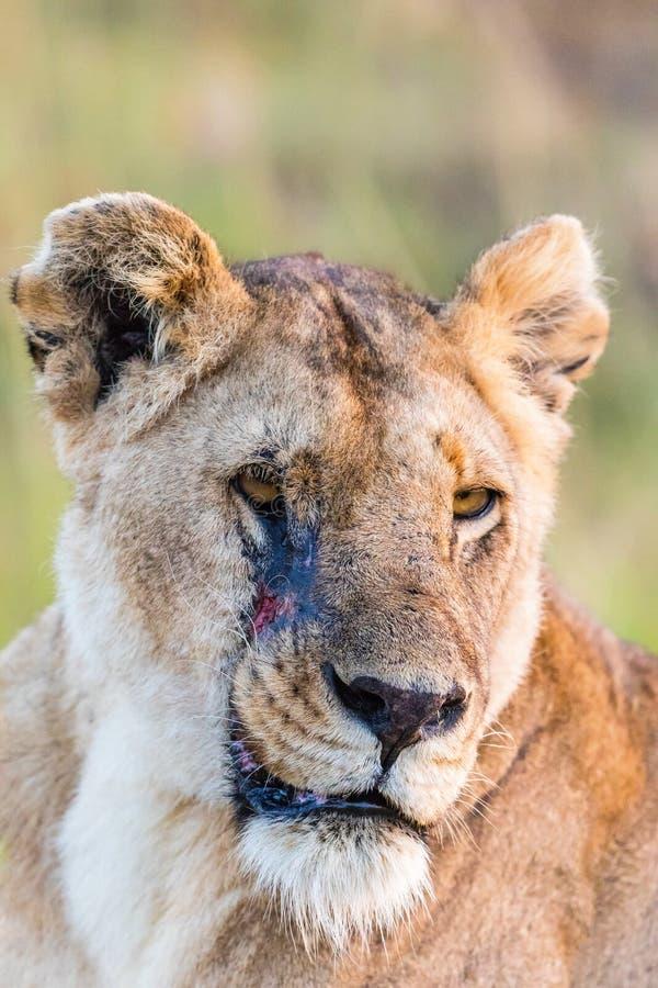 Potrait de lionne avec la cicatrice image libre de droits