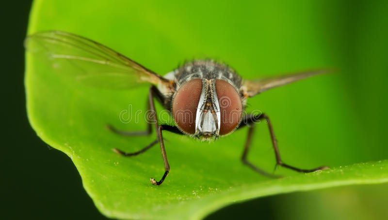 Potrait de mouche de chair photo stock