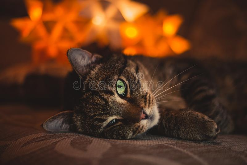 Potrait do gato descascado que coloca no sofá com luzes alaranjadas no backround Gato velho com um olho ferido que coloca na obsc fotos de stock royalty free