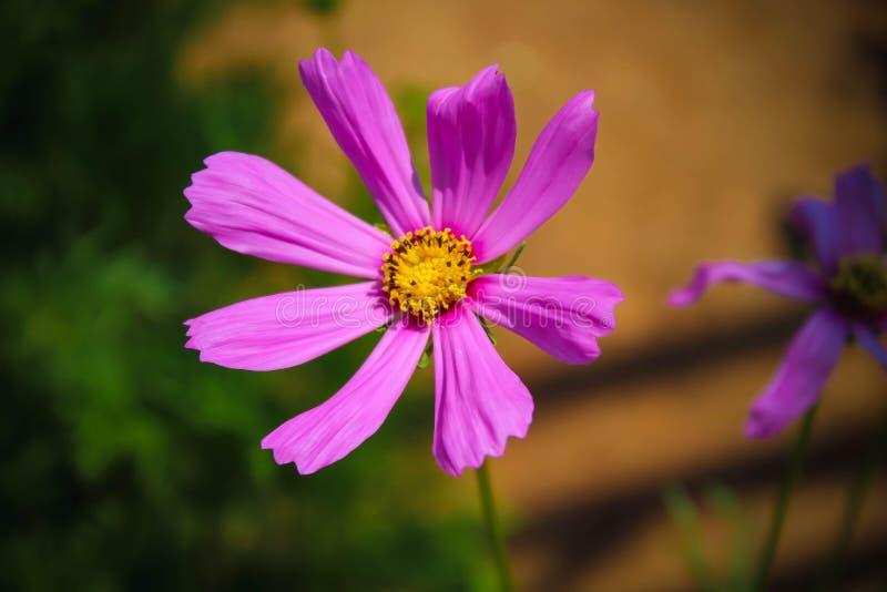 Potrait för trädgårdkosmosblomman rosa färger steg arkivfoton