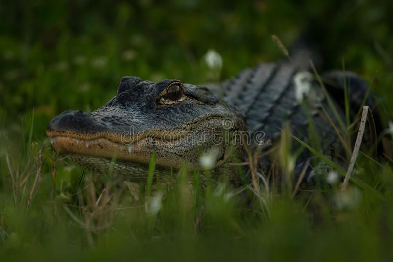 Potrait of gator. American alligator (Alligator mississippiensis) looking at camera. Selective focus on head of Gator royalty free stock images